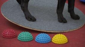 Labrador preto está na plataforma e mantém o equilíbrio video estoque