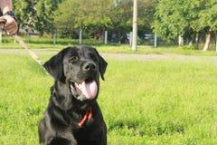 Labrador preto grande Imagens de Stock