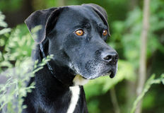 Labrador preto grande Dane Mixed Breed Dog Fotos de Stock