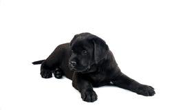 Labrador preto isolou-se Imagem de Stock