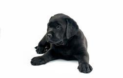 Labrador preto isolou-se Imagens de Stock