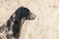 Labrador preto no campo Imagens de Stock Royalty Free