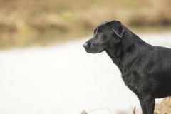 Labrador preto pelo rio Fotos de Stock Royalty Free