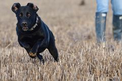Labrador preto que corre através de um campo fotografia de stock