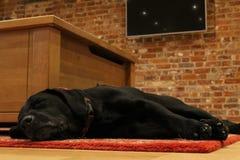 Labrador preto que dorme em um tapete Fotografia de Stock