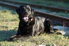 Labrador preto que encontra-se e que procura um mestre Imagens de Stock Royalty Free