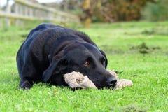 Labrador preto que encontra-se na grama com um brinquedo peluches Foto de Stock
