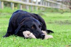 Labrador preto que encontra-se na grama com um brinquedo peluches Fotografia de Stock