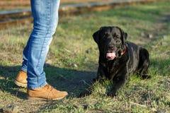 Labrador preto que encontra-se perto dos pés do mestre Foto de Stock