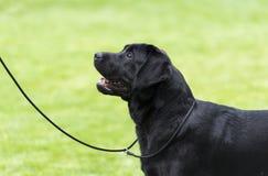 Labrador preto que fica na grama Imagens de Stock Royalty Free