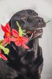 Labrador preto que guarda uma flor em sua boca Fotografia de Stock Royalty Free