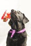 Labrador preto que guarda uma flor, olhando acima Fotos de Stock Royalty Free
