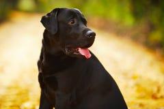 Labrador preto que senta-se e que olha afastado Imagens de Stock Royalty Free