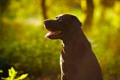 Labrador preto que senta-se em uma floresta ensolarada Imagem de Stock
