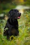 Labrador preto que senta-se na grama Fotos de Stock Royalty Free
