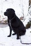 Labrador preto que senta-se na neve Fotos de Stock Royalty Free