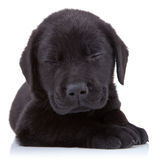 Labrador preto Tired Foto de Stock Royalty Free