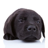 Labrador preto Tired Imagem de Stock Royalty Free