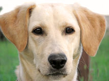 Labrador protrait Stock Photography