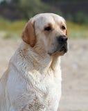 Labrador przy dennym portretem Obraz Royalty Free