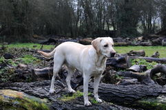 Labrador pup Royalty Free Stock Photos
