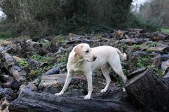 Labrador pup Royalty Free Stock Photography