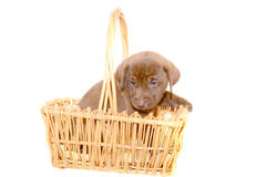 Labrador Pup. Young Labrador pup in a basket isolated on white Royalty Free Stock Photos
