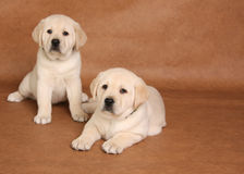 Labrador puppies Stock Photos