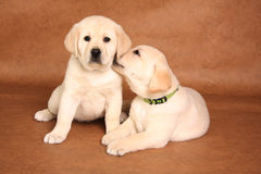 Labrador puppies Stock Photo