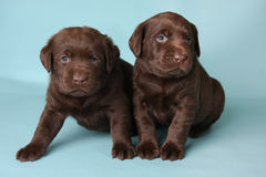 Labrador puppies. Purebred Labrador retriever puppies on blue royalty free stock photos
