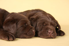 Labrador puppies. Two sleeping labrador retriever puppies royalty free stock images