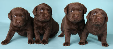 Labrador puppies. Four labrador retriever puppies studio shot on a blue background royalty free stock photography