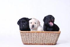 Labrador puppies. Three labrador retriever puppies portrait Stock Photo