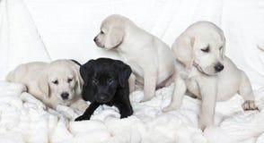 Labrador puppies. Black and white labrador puppies Stock Photography