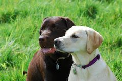 Labrador puppies. Two cute labradors sitting together in a field stock photos