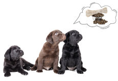 Labrador puppies dream of bone Royalty Free Stock Photo