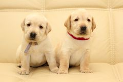 Labrador puppies Stock Images