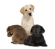 Labrador and puppies, isolated Stock Image