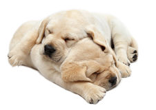Labrador puppies sleeping Stock Photos