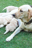 Labrador puppies sucking milk from mother dog breast. Royalty Free Stock Photos