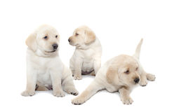 Labrador puppies royalty free stock images