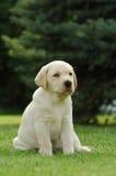 Labrador puppy Stock Image
