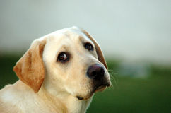 Labrador puppy. A cute Labrador Retriever dog head portrait with adorable expression in the friendly pet face watching other dogs in the park outdoors Stock Images
