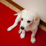 Labrador puppy Royalty Free Stock Image