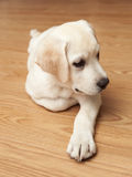 Labrador Puppy Royalty Free Stock Photos