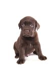 Labrador puppy Stock Photo