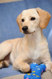 Labrador puppy. A verry cute labrador puppy playing Stock Image