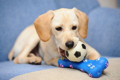 Labrador puppy. A verry cute labrador puppy playing Royalty Free Stock Image
