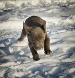 Labrador puppy. Running in the snow Stock Photos