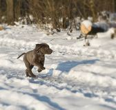 Labrador puppy. Running in the snow Royalty Free Stock Image
